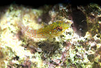 Rosy Blenny Malacoctenus macropus, greeny/yellow in colour and resting on light indistinct corals, Cayman Islands, Caribbean