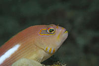 Masked Hawkfish Paracirrhites arcuatus , profile of head clearly showing mask around eyes, Tahiti, French Polynesia