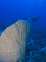 Diver next a Giant sea fan Annella mollis Ras Ghamila, Sharm El Sheikh, South Sinai, Red Sea, Egypt
