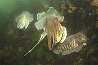 Cuttlefishes Sepia officinalis Babbacombe, Torquay, South Devon, UK A4 only