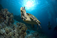 Green Turtle Chelonia mydas, turtle swimming above reef with blue water background and scuba diver, Red Sea