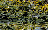 Kelp moved around in the surf Snares Island, Subantarctic New Zealand