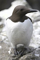 Bridled guillemot Uria aalge The 'bridle' running back from the eye is simply a colour variation Hebrides, Scotland