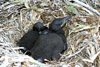 Shag chicks Phalacrocorax aristotelis, Sark, British Isles