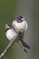 Swallow Hirundo rustica pair of juvenile swallows perched on branch awaiting parents Loch Awe Argyll Scotland, UK