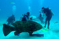 Divers play with and film Nurse sharks, Ginglymostoma cirratum, and a Goliath grouper, Epinephelus itajara, Molasses Reef, Key Largo, Florida, USA, At...