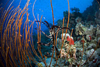 Black coral Antipathes spp with crinoid on sloping Red Sea Reef, Red Sea
