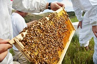 Beekeepers checking frame covered in bees