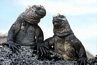 Marine iguanas holding hands Amblyrhynchus cristatus Punta Espinosa, Fernandina Island, Galapagos, Ecuador
