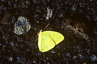 Dead sulphur butterfly on recent irridescent scoria ejecta Volcna Chico area Punta Espinosa, Fernandina Island, Galapagos Ecuador