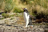Gentoo penguin running through dune area Pygoscelis papua Carcass Island, Falkland Islands