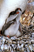 Gentoo penguin chicks on adults feet begging Pygoscelis papua Antarctica