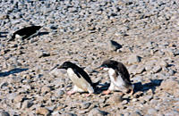 Adult Ad&#200;lie Penguin Pygoscelis adeliae chased by its chick in demand for food Paulet Island, Weddell Sea, Antarctica