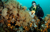 diver in the red sea with some red soft coral Red Sea
