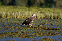 A juvenile bald eagle Haliaeetus leucocephalus scavenging a salmon carcass in Windham Bay on the Alaskan coast in Southeast Alaska, USA Pacific Ocean ...