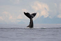A group of adult humpback whales Megaptera novaeangliae co_operatively 'bubble_net' feeding along the west side of Chatham Strait in Southeast Alaska,...