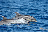Common Bottlenose Dolphin Tursiops truncatus Azores, North Atlantic Taken 2008