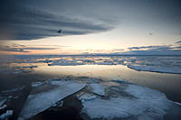 Arctic Pole, ice sheets, evening, feeding guls and Kittywakes Longyearbyen, Svalbard, Norway