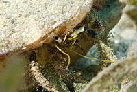 Close_up of a White_stalked hermit crab Dardanus lagopodes Na'ama Bay, Sharm el Sheikh, South Sinai, Red Sea, Egypt