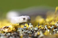 Slow Worm Anguis fragilis amongst moss on a rock Argyll, Scotland, UK