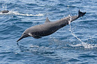 Adult Central American Spinner Dolphin, Stenella longirostris centroamericana, spinning, Costa Rica, Pacific Ocean