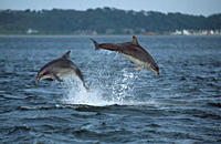 Bottlenose dolphin Tursiops truncatus truncatus _ two leaping clear of the water together Moray Firth, Scotland