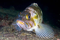 Copper Rockfish Sebastes caurinus