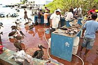 Fish market, Puerto Ayora, Isla Santa Cruz Santa Cruz island, Galapagos Islands, Ecuador, South America