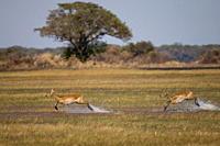 Puku Kobus vardonii, Busanga Plains, Kafue National Park, Zambia, Africa