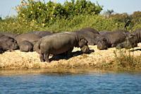 Hippopotamuses, Zambesi River, Zambia, Africa