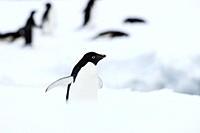 Adelie penguin Pygoscelis adeliae, Commonwealth Bay, Antarctica, Polar Regions