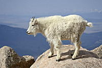 Mountain Goat Oreamnos americanus, Mount Evans, Colorado, United States of America, North America