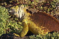Galapagos land iguana Conolophus subcristatus, Islas Plaza Plaza island, Galapagos Islands, UNESCO World Heritage Site, Ecuador, South America