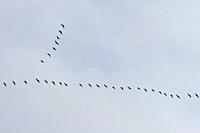Skein of geese The classic ´V´ shape of a skein of migrating geese Hebrides, Scotland