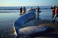 Blue whale,Balaenoptera musculus, people looking at a dead blue whale calf,Monterey, California,USA, Pacific ocean,national marine sanctuary,Endangere...