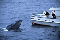 Humpback whale,Megaptera novaeangliae,being friendly or curious towards whale watch boat full of people,whale is spy hopping view of tubercles and spl...