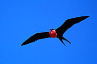Flying male great frigatebird with inflated pouch Fregata minor Tower Island, Galapagos, Ecuador