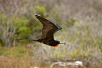 Adult male great frigate bird Fregata minor at nesting and breeding site note red expanded gular pouch on North Seymour Island in the Galapagos Island...