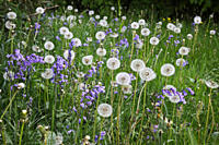 England, Gloucestershire, Westonbirt Arboretum. Bluebells and Dandelions in abundance in Silk Wood during springtime at Westonbirt, The National Arbor...