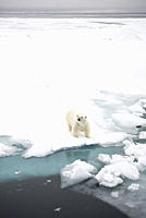 Polar Bear Longyearbyen, Nordaustlandet, South Severn Is, Svalbard, Norway