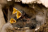 Swallow Hirundo rustica chicks in nest, begging for food Loch Awe, nr Oban, Scotland, UK
