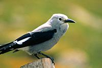 Clark's Nutcracker nucifraga columbiana Grey and Black Bird, Colorado, USA