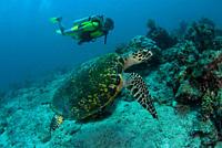 Hawksbill Turtle & diver Kapalai Island, Malaysia