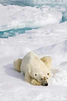 A curious adult polar bear Ursus maritimus approaches the National Geographic Explorer in the Barents Sea off the eastern coast of Edge¯ya Edge Island...