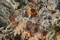 Close up of the face from a young Bearded Scorpionfish Scorpaenopsis barbatus Dahab, Egypt