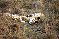 Bengal Tigers Panthera Tigris Tigris wild sub_adult males, critically endangered Bandhavgarh Tiger Reserve, India