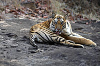 Bengal Tiger Panthera tigris tigris wild adult male, critically endangered Bandhavgarh Tiger Reserve India