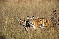 Bengal Tigers Panthera tigris tigris wild adult female and cub, critically endangered, Bandhavgarh Tiger Reserve, India