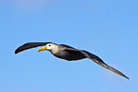 Adult waved albatross Diomedea irrorata taking flight at breeding colony on Espanola Island in the Galapagos Island Archipeligo, Ecuador Pacific Ocean...