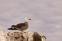 Adult Heermann´s gull Larus heermanni on their breeding grounds on Isla Rasa in the middle Gulf of California Sea of Cortez, Mexico MORE INFO: 95 of t...